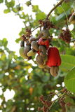 Una fruta salvaje Imagen de archivo libre de regalías
