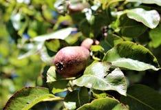 Una frutta della pera si sviluppa su un ramo Immagine Stock