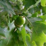 Una frutta della quercia Immagine Stock