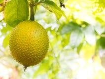 Una frutta gialla del cetriolo amaro della primavera Immagini Stock Libere da Diritti