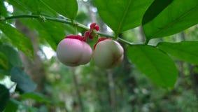 Una frutta selvaggia Fotografia Stock