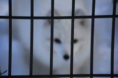 Una gabbia con una volpe vaga, ingabbiata, libertà immagini stock libere da diritti