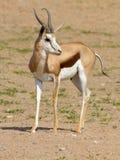 Una gacela fotografió en el parque nacional internacional de Kgalagadi entre Suráfrica, Namibia, y Botswana imagen de archivo libre de regalías