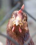 Una gallina che fissa alla macchina fotografica fotografia stock