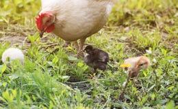 Una gallina con los pollos que caminan en una hierba verde en la granja en Foto de archivo libre de regalías