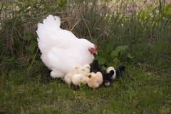Una gallina de cría con los pollos imagen de archivo
