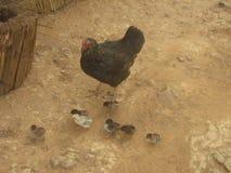 Una gallina de la madre con sus pollos del bebé Foto de archivo libre de regalías