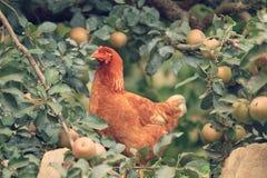 Una gallina debajo del manzano fotos de archivo
