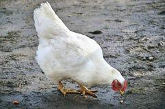 Una gallina en el fango Fotografía de archivo