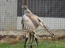 Una gallina intransigente femminile è azionata per anni fotografie stock libere da diritti