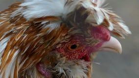 Una gallina multicolore lanuginosa esamina il mondo con gli occhi tristi nel slo-Mo video d archivio