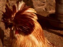 Una gallina pennuta del colorfull in un recinto per bestiame Fotografie Stock Libere da Diritti