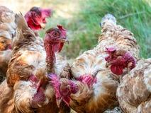 Una gallina tiene un verme enorme in suo becco fotografie stock libere da diritti