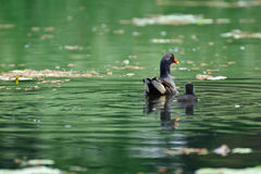 Una gallinella d'acqua femminile ed il suo bambino Fotografia Stock Libera da Diritti