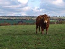 Una ganadería joven toro de Lemosín Imagen de archivo libre de regalías