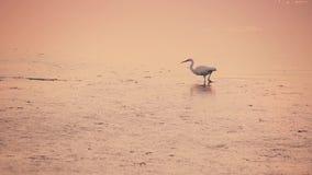 Una garceta camina en el agua de la laguna en la puesta del sol metrajes