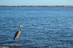 Una garza azul mira hacia fuera sobre la bahía Fotos de archivo