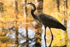Una garza de gran azul en un pantano de Carolina del Sur imagen de archivo libre de regalías