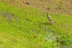 Una garza marrón y blanca que camina encima de un terraplén de la hierba, siguiendo una fuente de agua, en un parque tailandés pr foto de archivo libre de regalías