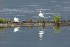 Una gaviota de arenques con el pico abierto Foto de archivo libre de regalías