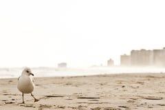 Una gaviota de mar en la playa de Atlantic City Fotos de archivo libres de regalías