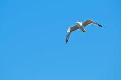 Una gaviota, elevándose en el cielo azul Imagen de archivo libre de regalías