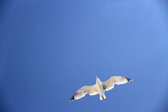 Una gaviota en el cielo azul como fondo Imagen de archivo