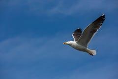 Una gaviota, en la manera en el cielo azul Imágenes de archivo libres de regalías