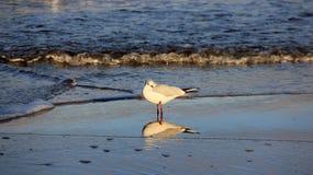 Una gaviota en la playa báltica Libertad de la felicidad y manera de vida fácil Fotos de archivo libres de regalías