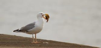 Una gaviota está comiendo Foto de archivo