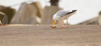 Una gaviota está comiendo Imagen de archivo libre de regalías