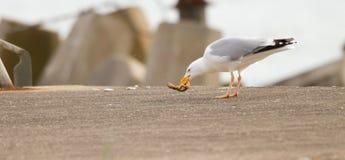 Una gaviota está comiendo Foto de archivo libre de regalías