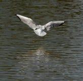Una gaviota está volando Foto de archivo
