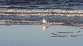 Una gaviota se relaja y forrajea en la playa báltica metrajes