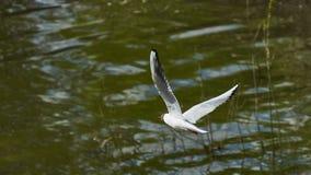 Una gaviota vuela por el río Foto de archivo libre de regalías