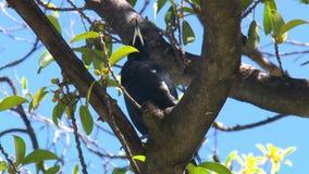 Una gazza australiana che si siede in un albero video d archivio