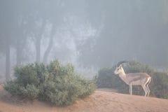 Una gazzella della sabbia nel deserto del Dubai su una mattina nebbiosa La Doubai, UAE Fotografie Stock Libere da Diritti