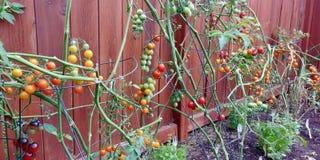 Una generosidad de las verduras frescas y deliciosas del patio trasero fotos de archivo