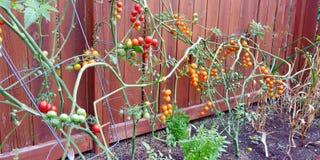 Una generosidad de los tomates frescos y deliciosos del patio trasero fotos de archivo libres de regalías