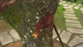 Una giovane donna in un giardino tropicale prende una foto di un albero della cannella stock footage