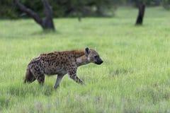 Una giovane iena sul movimento (6) Immagini Stock Libere da Diritti