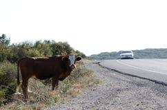 Una giovane mucca nel selvaggio Fotografia Stock Libera da Diritti