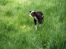 Una giovane pecora marrone e bianca che sta su un prato verde Immagini Stock