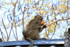 Una giovane scimmia si siede sul tetto e pulisce il mandarino fotografie stock libere da diritti