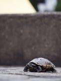 Una giovane tartaruga del bambino sta stando sulla terra sola e sullo sguardo Fotografia Stock