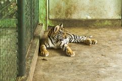 Una giovane tigre su un riposo della gabbia Fotografia Stock