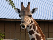 Una giraffa fotografia stock
