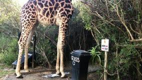 Una giraffa africana che ha una pipi sul safari in un'area sudafricana di conservazione archivi video
