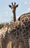 Una giraffa (camelopardalis del Giraffa) Fotografia Stock