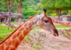 Una giraffa che è animale domestico sulla testa ad uno zoo aperto in Tailandia fotografie stock